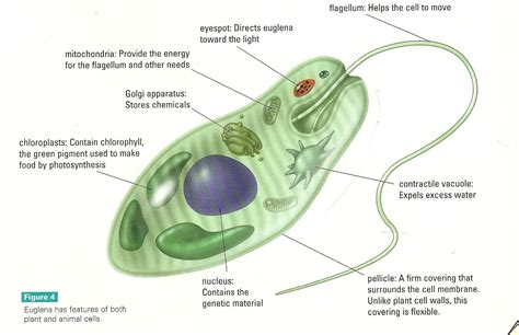 Diagram Euglena Sp by Superb Muslimah Azharian