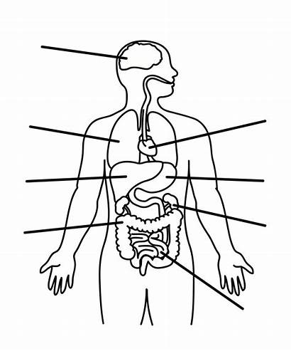 Outline Human Printable Cliparts Diagram Drawing Organs