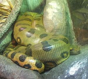 Anaconda Snake Facts | Different Types of Anacondas | HubPages