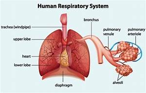 A Simple Diagram That Labels The Parts Of The Respiratory