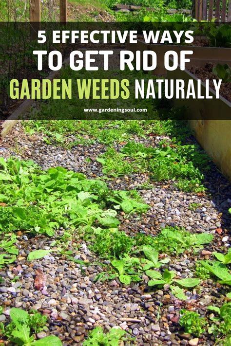 effective ways   rid  garden weeds naturally
