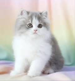 doll cat blue chinchilla golden kittens kittens