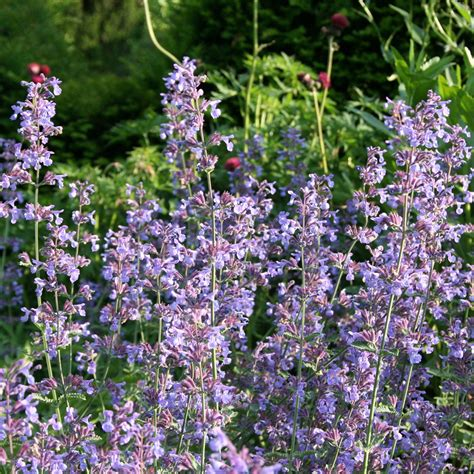 buy catmint plants buy catmint nepeta 215 faassenii delivery by waitrose garden in association with crocus
