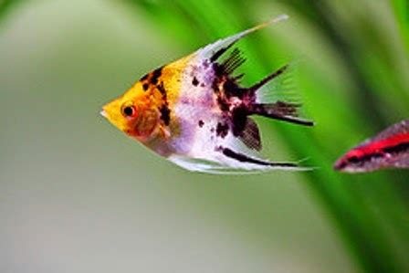 angelfish   tropical freshwater fish species