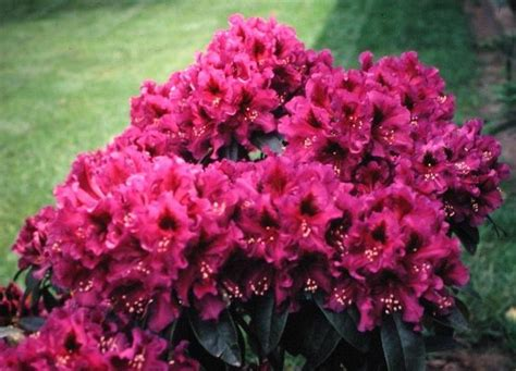 evergreen shrub with pink flowers evergreen shrub pink flowers hawthorne photo