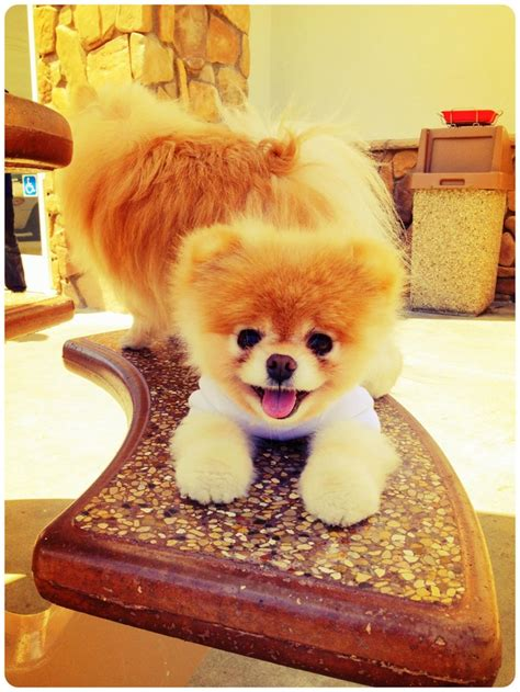 best 25 boo ideas on boo puppy boo the
