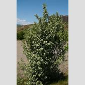 Wolf Willow - O...