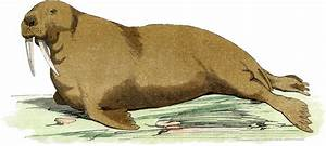 Vintage Walrus Image French Zoology The Graphics Fairy