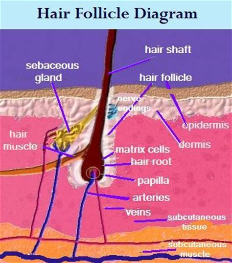 Hair Anatomy Diagram by Hair Care Understanding The Scalp Me