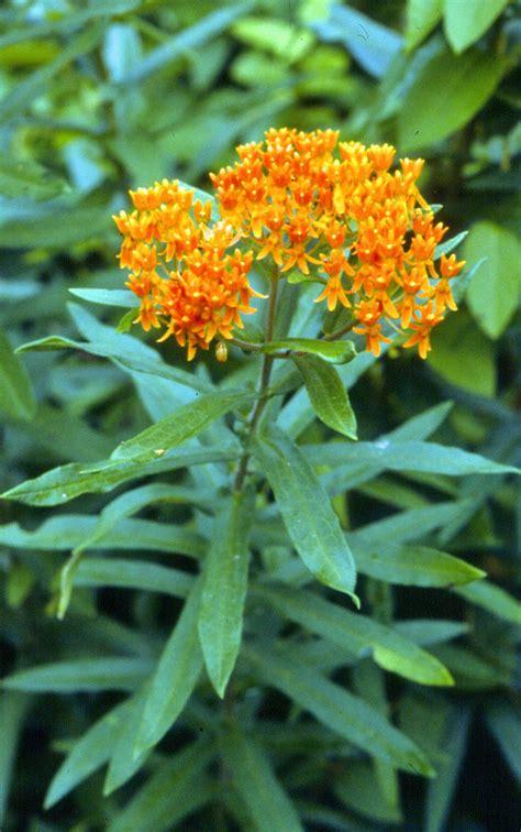 milkweed plants for butterfly milkweed 7504