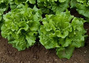 Lettuce Varieties – Learn About The Different Types Of Lettuce