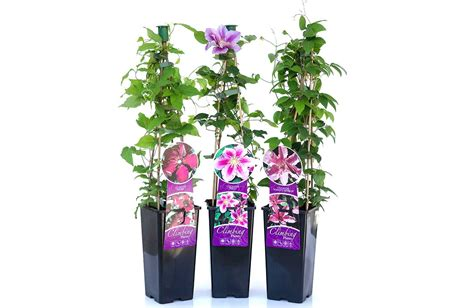 can i plant clematis in a pot top 10 tips for growing climbing clematis garden pics and tips