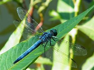 Insect Blue Dragonfly On A Leaf Photo Picture Gallery HD ...