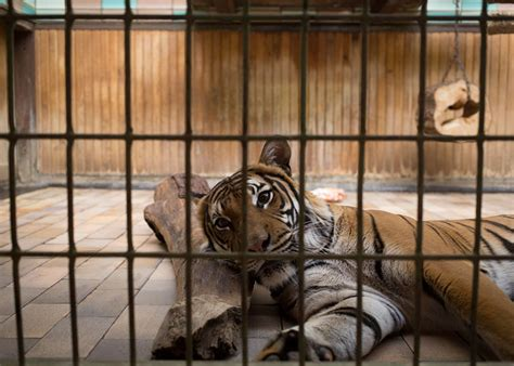 zoo animals behind bars sad trapped zoos lost depressed depressing elias hassos animal need prisons help change berlin imprisoned sadness