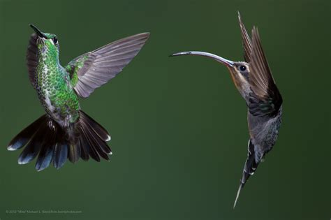 10 of the most amazing facts about hummingbirds esposito