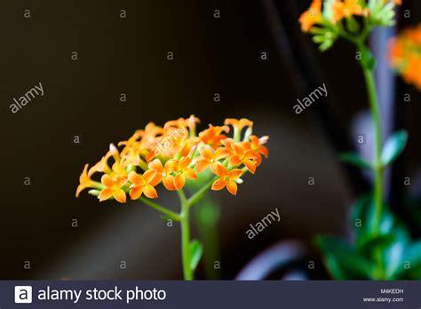 Zimmerpflanze Orange Blüte by Flower Madagascar Succulent Stockfotos Flower Madagascar