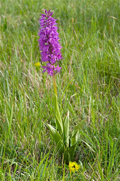 Orchis-mascula-ssp-speciosa_20 | Orchis mascula ssp ...