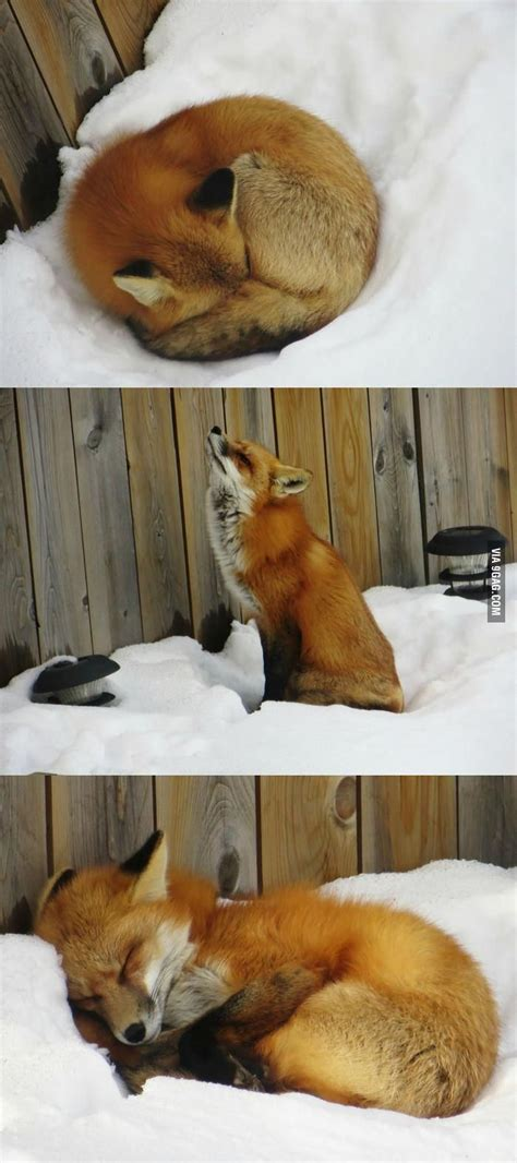 how cute pet foxes steal your heart you will find fox sleeping in your backyard in canada fox foxes and backyard