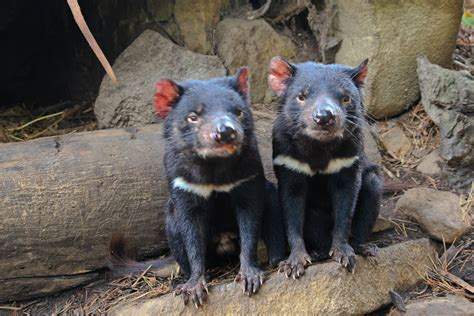 This page contains tasmanian devil facts for kids and adults and is part of our australian animals series. Tasmanian Devil Conservation Park