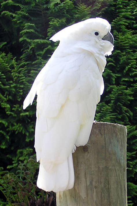 kakatua putih wikipedia bahasa indonesia ensiklopedia bebas