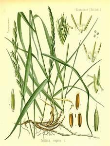 Fam U00edlia Poaceae - Plantas