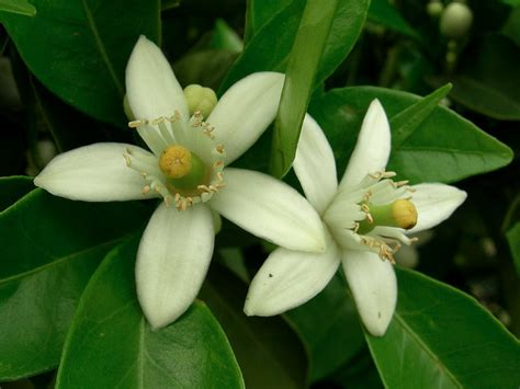 what is the state flower florida state flower orange blossom