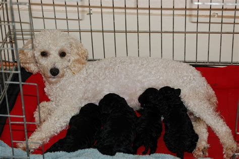 absolutely no shedding miniature poodle puppies