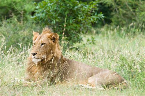 Fichier Ee  Lion Ee    Ee  Kruger Ee   National  Ee  Park Ee   Jpg Wikipedia