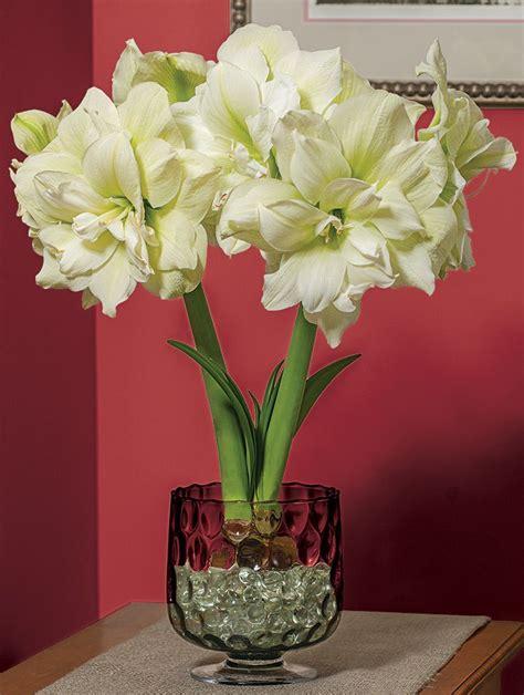 amaryllis marilyn white flower farm