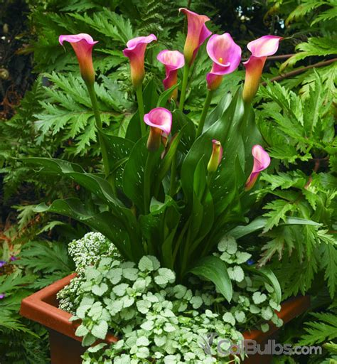 where to plant lilies calla lily care how to plant water grow calla lilies