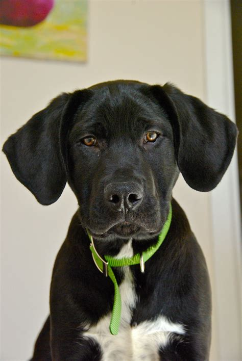 puppy tembo  puts  great  great danelab mix great dane lab mix cute dogs
