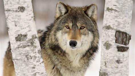 Wolf Desktop Wallpaper Hd by Wolf Hd Desktop Wallpapers Pixelstalk Net