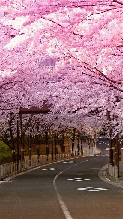 Blossom Cherry Iphone Wallpapers Road Japan Blossoms