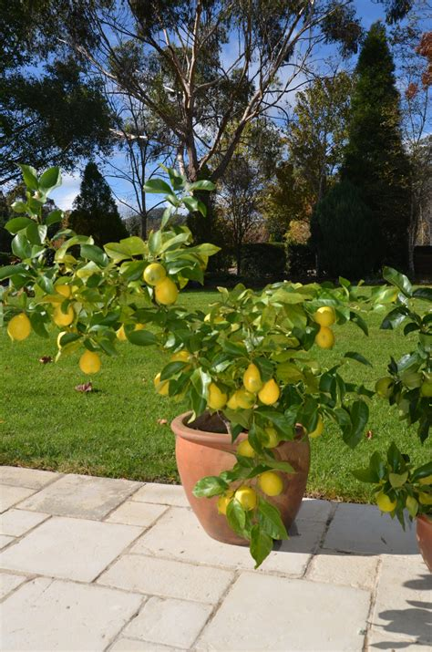 how to grow citrus in pots 187 my productive backyard