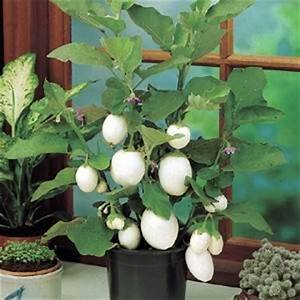 Ptilotus Joey Egmont Seed pany Ltd line seed sales