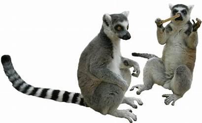 Transparent Lemur Clipart Tubes Animaux Starpng Sauvage