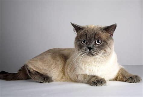 non shedding cats the shorthair cat cat breeds encyclopedia