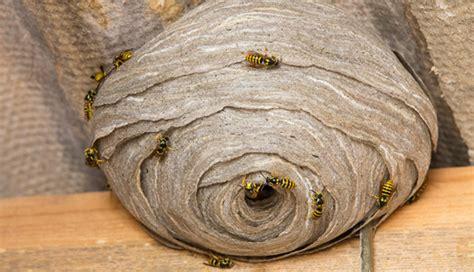 schädlingsbekämpfung wer zahlt wespennest entfernen lassen mieter kann wespennest
