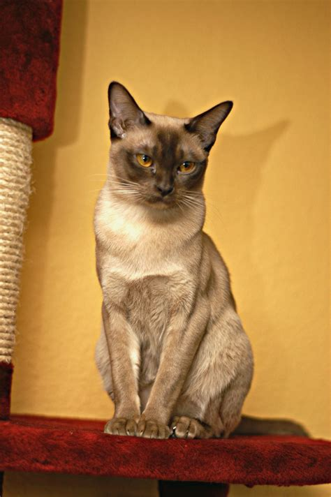 Burma-Katze – Wikipedia