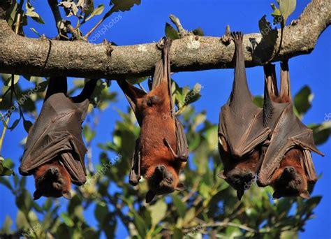 volpi volanti volpi volanti di dormire avvolti nel loro ali foto stock