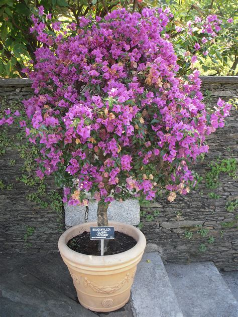 in a pot file bougainvillea in a pot jpg wikimedia commons