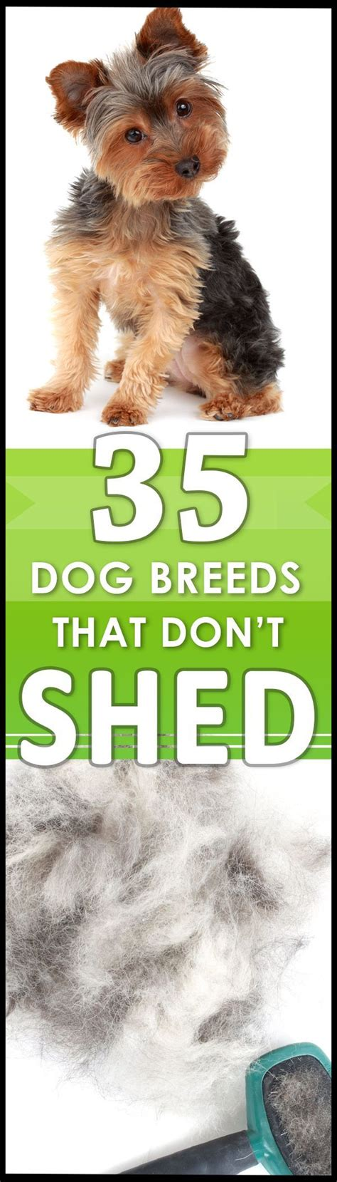 hypoallergenic breeds that dont shed best 25 hypoallergenic breed ideas on
