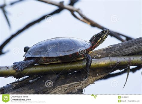 Turtle Royalty Free Stock Photo Cartoondealercom 48232359