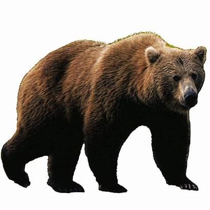 Bear Transparent Brown Panda Walking Polar Oso