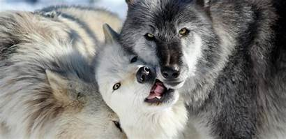 Wolf Wolves Nederland Wolfe Animal Gray Conservation