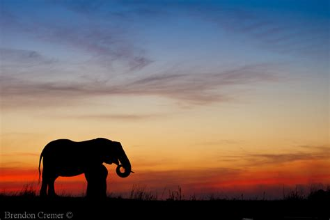 elephant sunset elephants  sunset   chobe