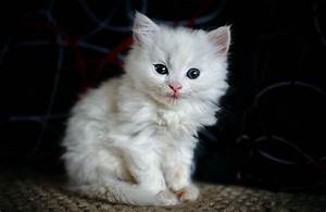 Fluffy White Kitten With Blue Eyes Puff - Litle Pups