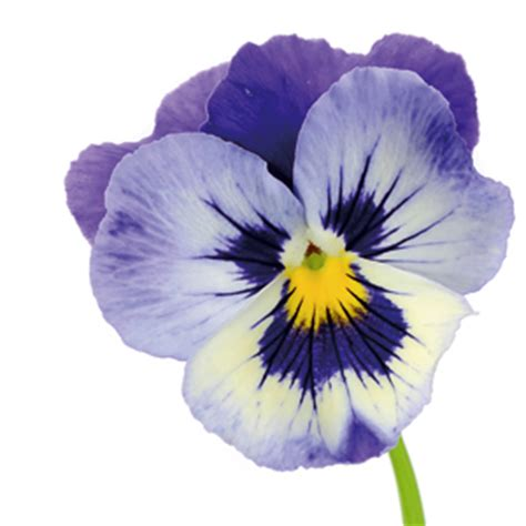 fiore viola significato dei fiori fai da te in giardino