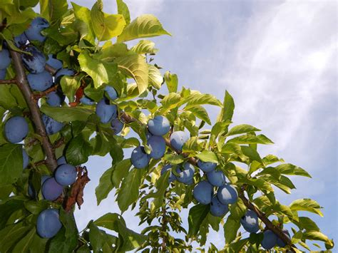 prune tree what to do with pounds pounds of italian prune plums albatz blog