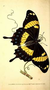 Unique, Butterfly art and Natural history on Pinterest
